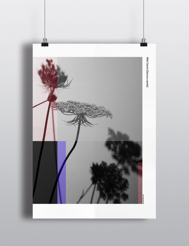 Project 365 - Wild Carrot Poster